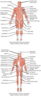 liste des muscles du humain wikip 233 dia