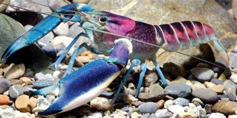 Makanan Ikan Hias Lobster jenis jenis lobster air tawar berikut morfologinya