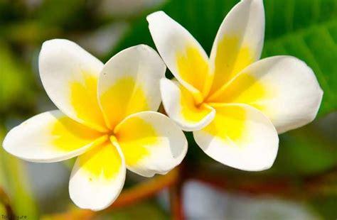 fiore di tiare fiore di tiar 232 l ingrediente dell olio di monoi naturalworld