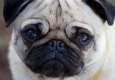 pugs faces the pug is one the trademarks of this breed