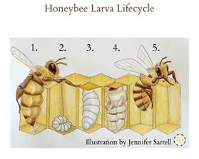 Backyard Bees The Life Cycle Of A Baby Bee Keeping Backyard Bees