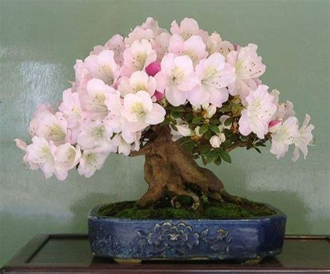 potatura azalea in vaso bonsai azalea schede bonsai
