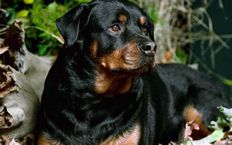 names for rottweilers 10 best rottweiler names