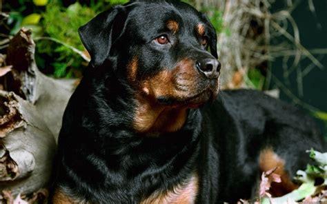 rottweiler names 10 best rottweiler names