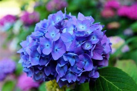 fiori velenosi 13 meravigliosi fiori velenosi guida giardino