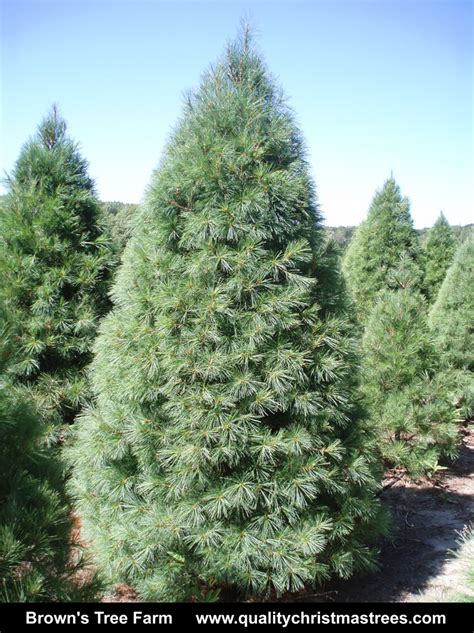 wholesale real christmas trees photo album christmas