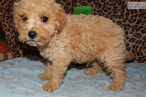 goldendoodle breeders indiana goldendoodle puppy for sale near south bend michiana