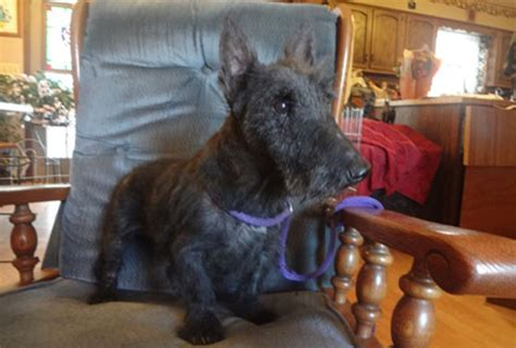 rescue tn scottish terrier rescue tn dogs our friends photo