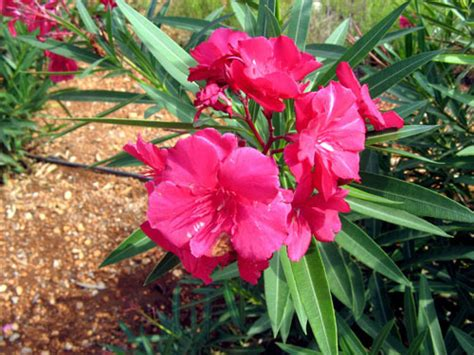 poisonous flowering shrub poisonous flowers nerium oleander