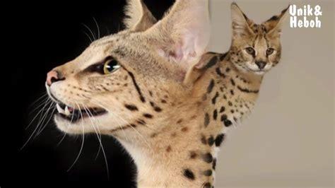 10 jenis kucing termahal di dunia