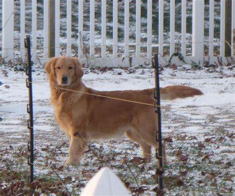 sonshine golden retrievers sonshine golden retrievers golden retriever puppies indiana