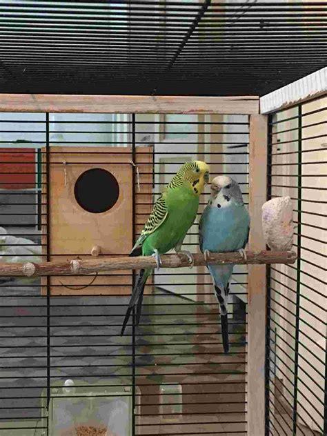 gabbia cocorita cocorite e pappagallini ondulati