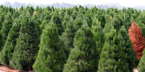 christmas tree farms near ta clearwater and st