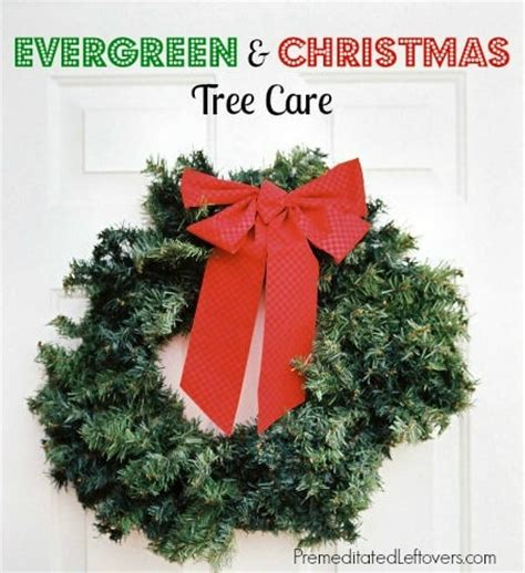 how to care for your evergreens and christmas tree