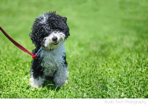 dog haircuts chicago charlie chicago miniture poodle cutest ever puppy black