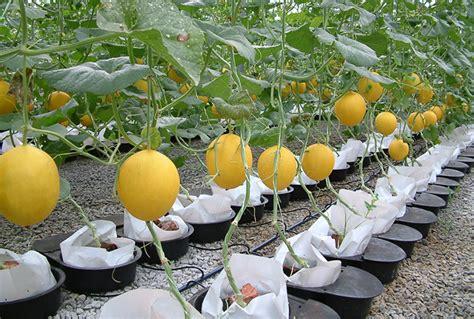 Budidaya Bertanam Melon cara budidaya melon di pekarangan rumah urbanina