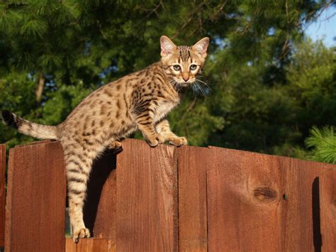 Top 7 Largest Cat Breeds   Choosing The Right Cat For You