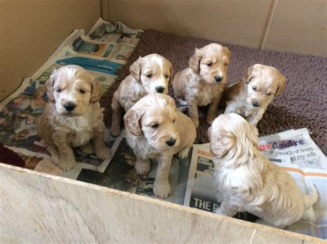 spaniel doodle puppies for sale cocker x goldendoodle puppies colchester essex pets4homes