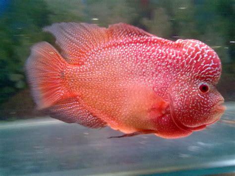 Pakan Ikan Louhan Biar Jenong budidaya gambar dan cara merawat ikan louhan yang benar