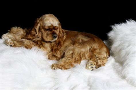 cocker spaniel puppies ohio stinky puppy puppies puppy
