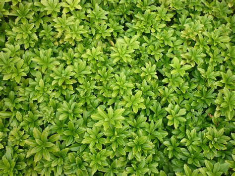 pachysandra ground cover bing images