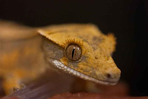 Do Crested Geckos Need Heat Ls by Guide For Buying A Crested Gecko