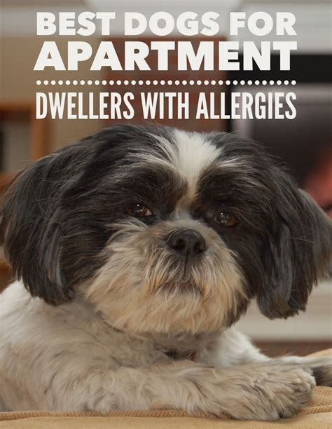 best puppies for apartments best breeds for apartments allergies