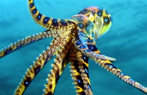 deadliest catch octopus 9 best images about blue ringed octopus on pinterest
