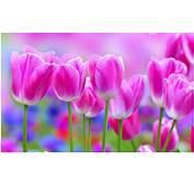PINK TULIPS BEAUTIFUL FLOWER HD WALLPAPER  9HD Wallpapers