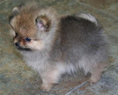 pomeranian breeders va best 25 pomeranian breeders ideas on adorable puppies fluffy puppies and