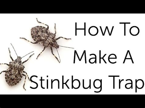 how to get rid of stink bugs in my house stink bug control how to get rid of stink bugs