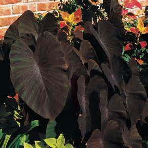 black magic elephant ear plant caladium can be grown inside here in the north plants and