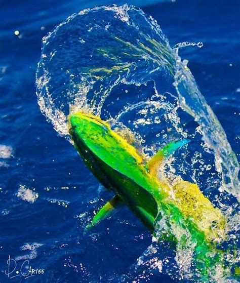 Fishing 32 Fish 32 best mahi mahi dorado dolphin images on