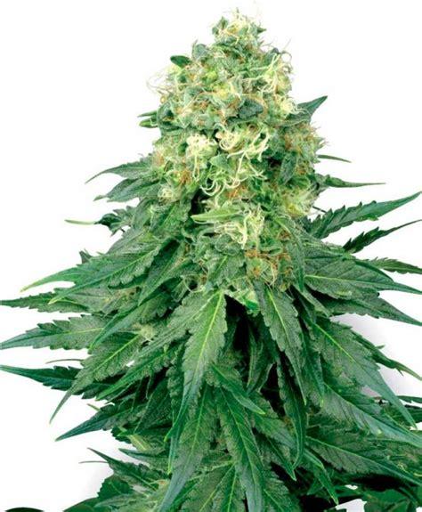 semillas de marihuana interior semillas de marihuana