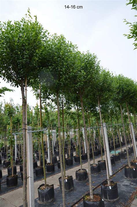 stapelstühle für den garten kugelbaum f 195 188 r kleinen garten kaufen kugelkirsche mr
