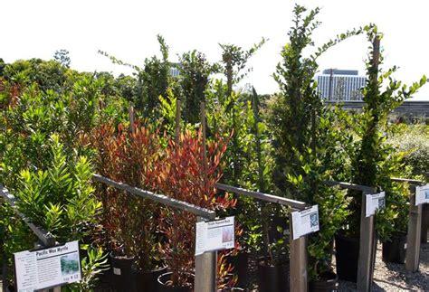 alberelli da terrazzo sempreverdi da terrazzo piante da terrazzo scegliere