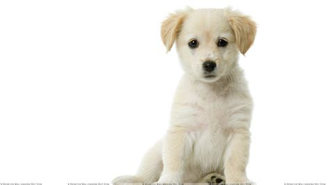white puppy sweet white puppy sitting wallpaper