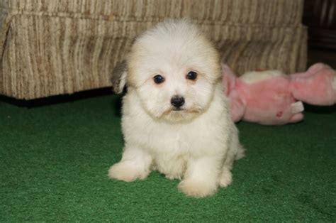 havaton puppies havanese puppies for sale in cincinnati ohio family puppies family puppies