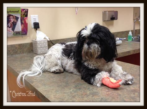 why do shih tzu water pet insurance why your pet may thank you oh my shih tzu