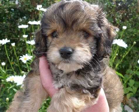 yankee doodle puppies for sale yankee doodle miniature cockapoo puppy york