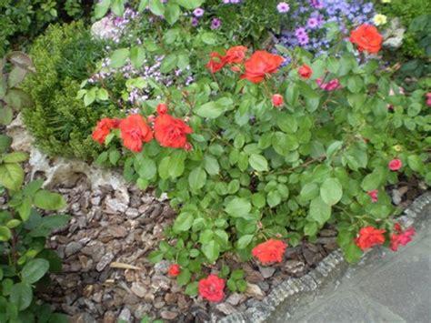 cura roselline in vaso la rosa la dei fiori come far fiorire le