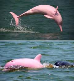 Pink Dolphin Ultra Pink Dolphin Spotted In Louisiana Might Be