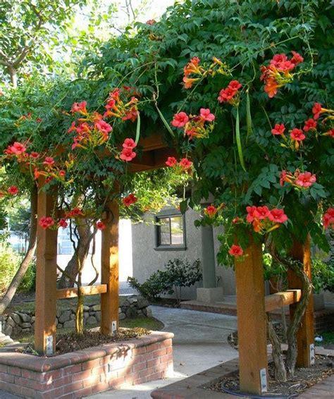 deciduous climbing plants 100 seeds csis grandiflora trumpet vine fast