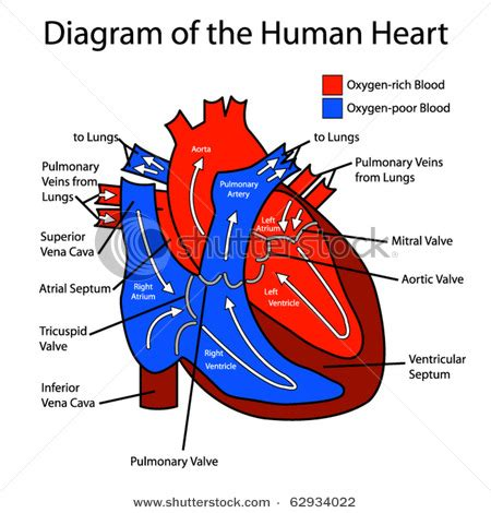 diagram with labels and blood flow circulatory system keeping you alive why biology is