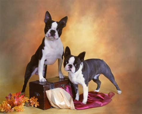 boston terrier puppies for sale in oregon boston terrier puppies for sale reno nevada dogs in our photo