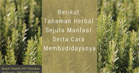 Bibit Rosemary Surabaya berikut tanaman herbal sejuta manfaat serta cara