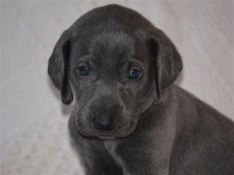lab puppies for sale in az labrador retriever puppies for sale near tucson arizona akc marketplace