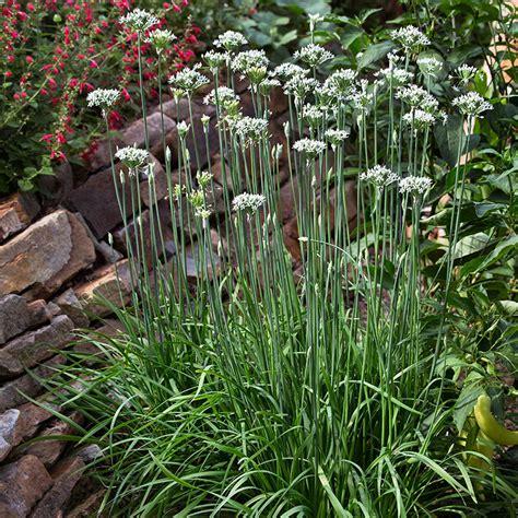 garlic chives bonnie plants