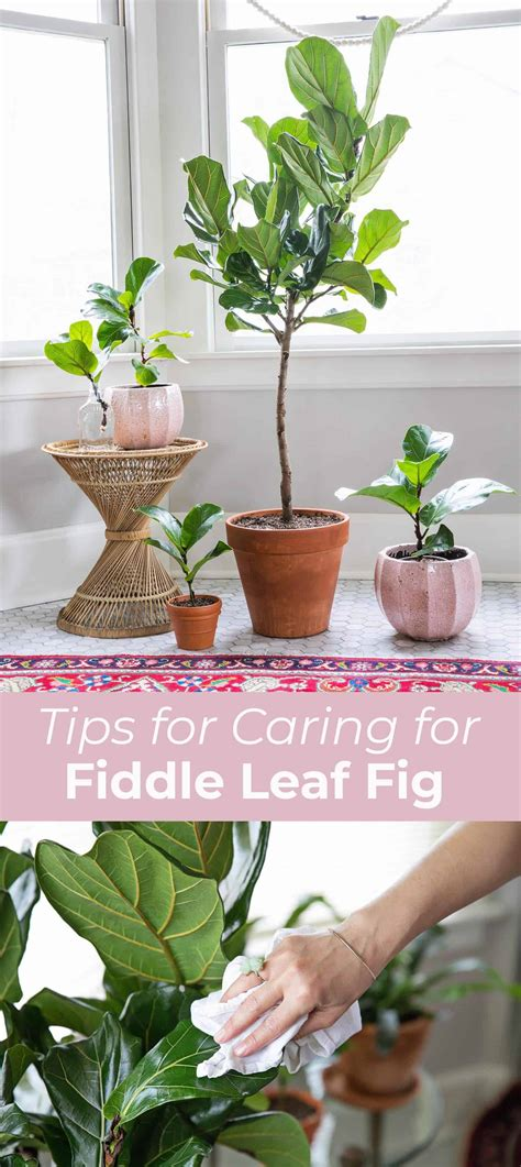 how to keep a fiddle leaf fig alive and happy fiddle 5 tips for caring for fiddle leaf figs a beautiful mess