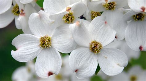 Sun City Florists Cards And Gifts - dogwood cornus southern living